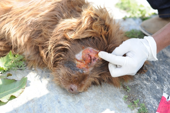 Dog receives treatment after its eyelid was torn open in a dog fight.
