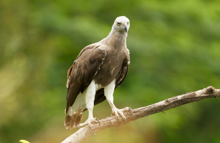 Grey-headed-Fish-Eagle