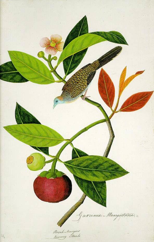 Garcinia_Mangostana;_Booah_Mangies;_Boorong_Merbo_(William_Farquhar_Collection,_1819–1823)