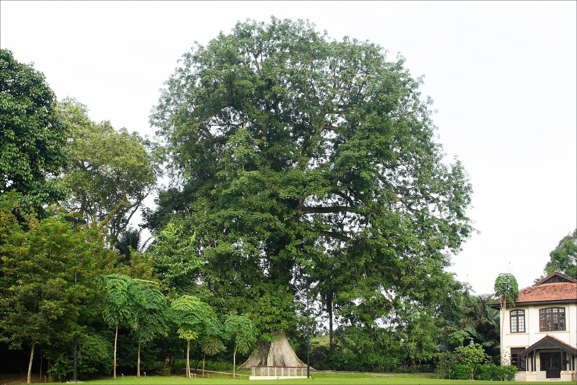 kapok tree singapore botanic gardens