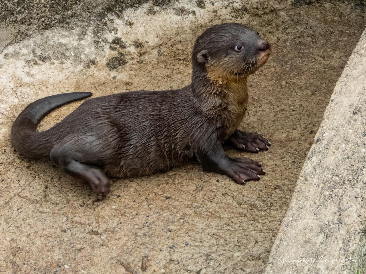 bishan otters new pups 6 gen