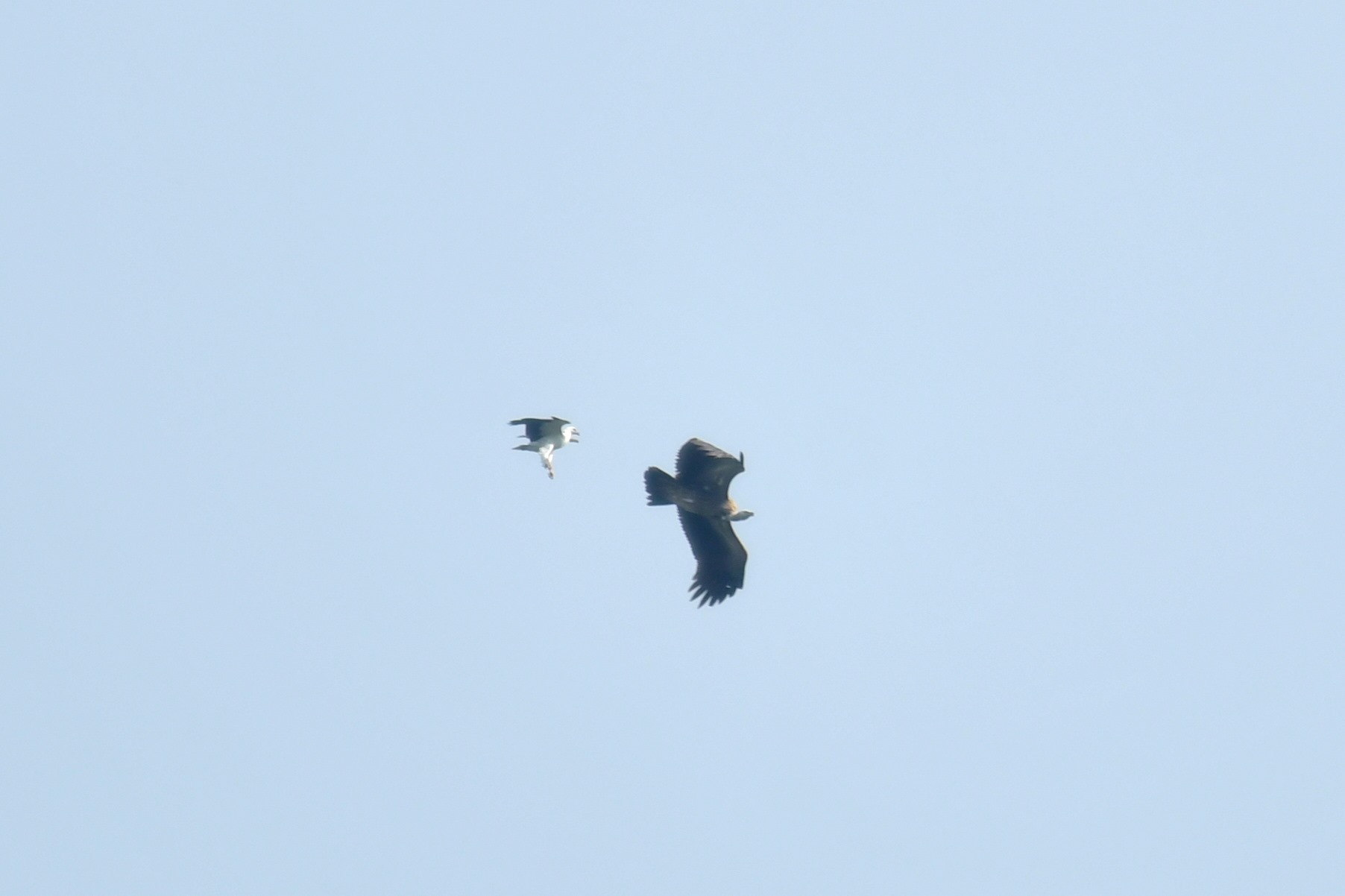 white-bellied sea eagles himalayan griffon