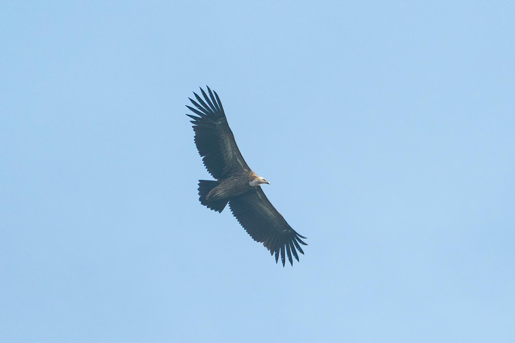 himalayan griffon vultures