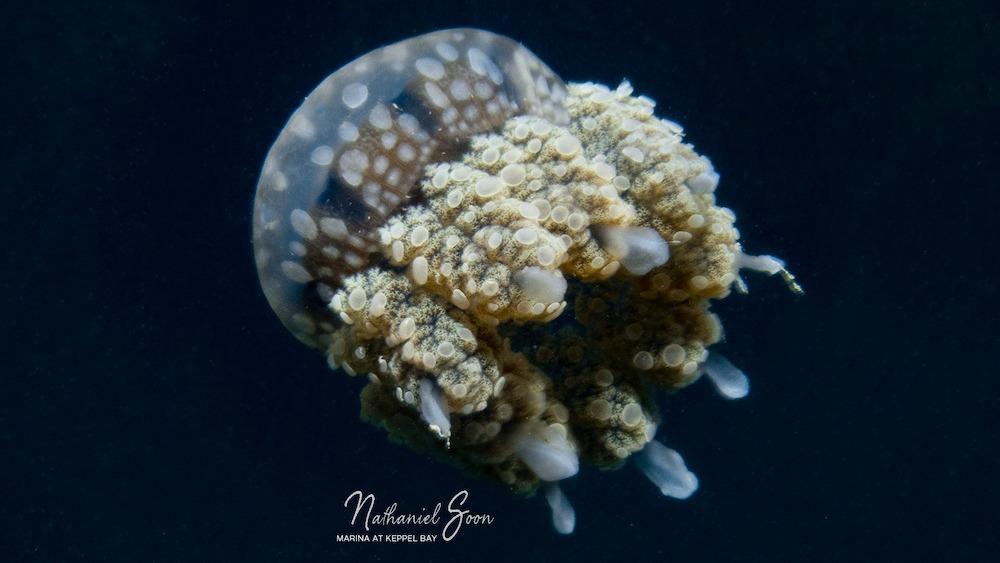 jellyfish at marina at Keppel Bay