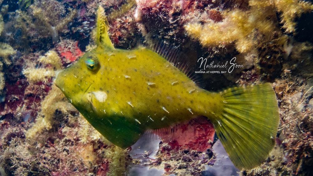 filefish at marina at Keppel Bay