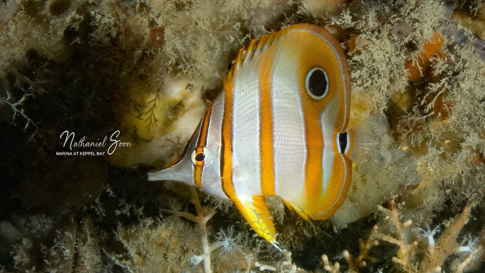 copper banded butterflyfish at Keppel Bay