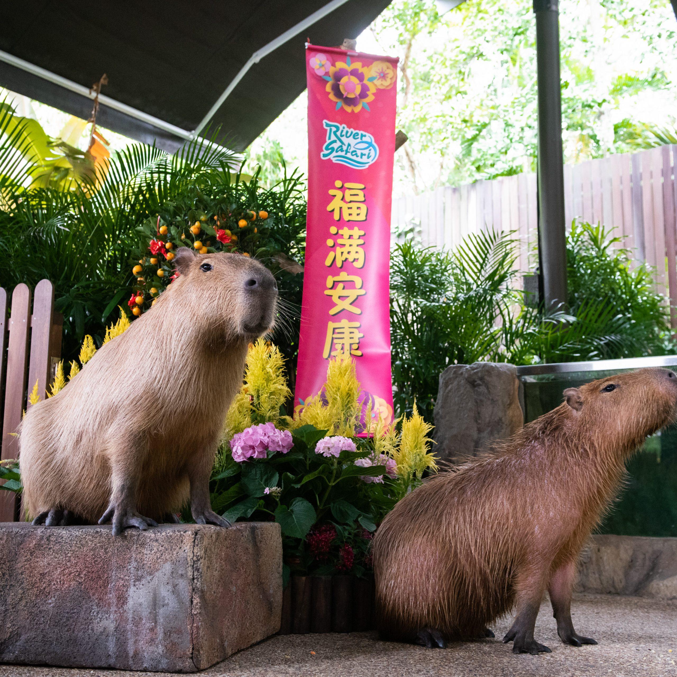 Capybara singapore zoo