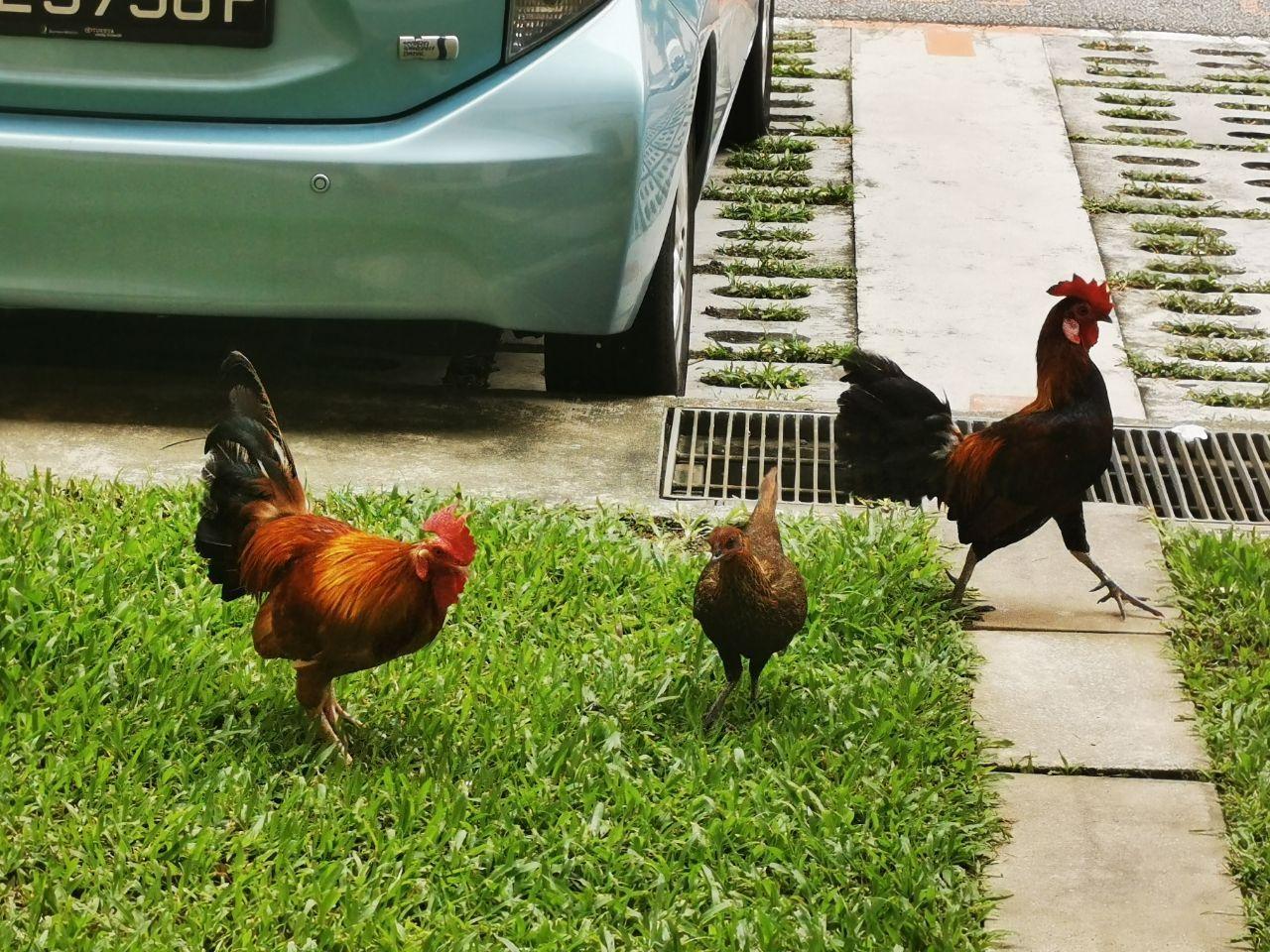 Three red junglefowl in Sin Ming