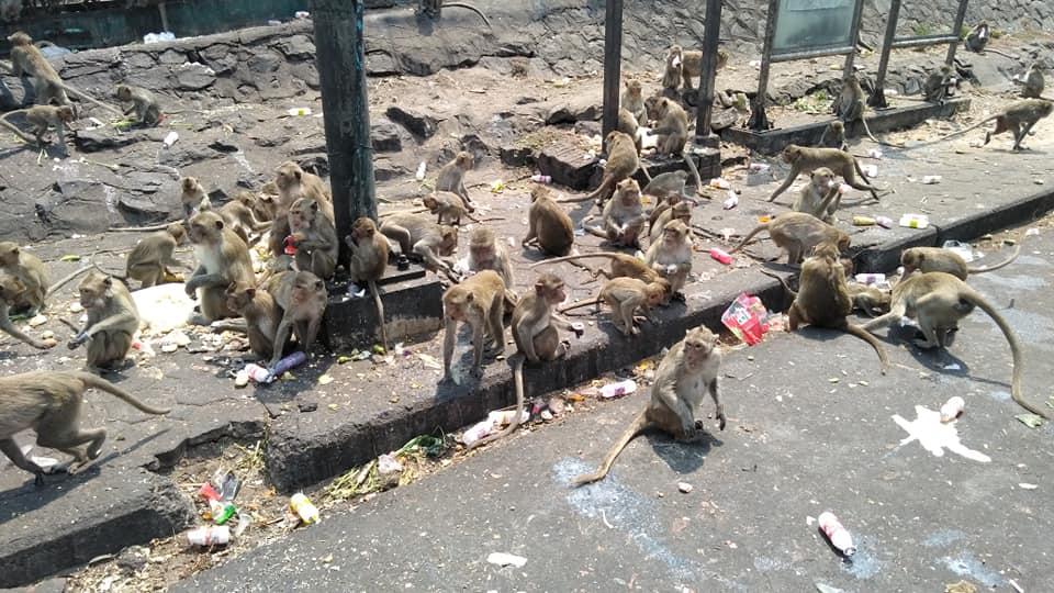lop buri monkeys thailand