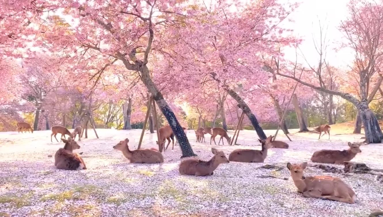 deer sakura park, <b> Japan&#8217;s Nara deers vibing in isolation look like something out of an anime </b>
