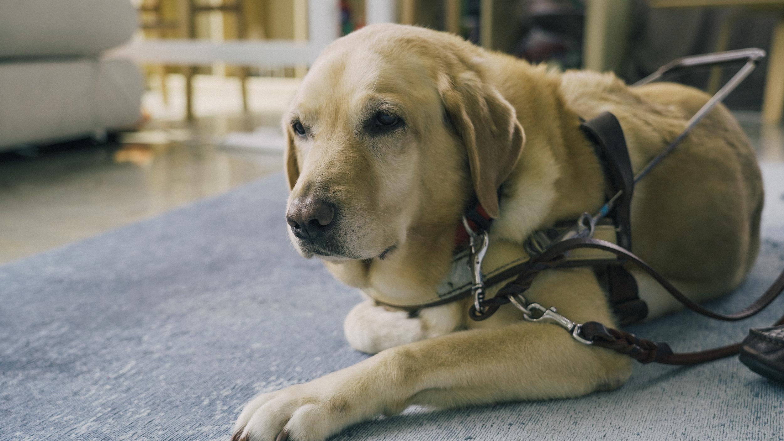 Seratta a Labrador-Golden Retriever cross