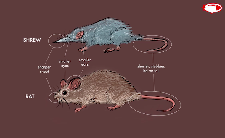 photo highlighting the difference between a shrew and a rat
