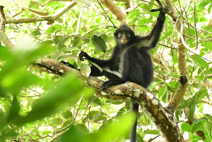Raffles' Banded Langur in the trees
