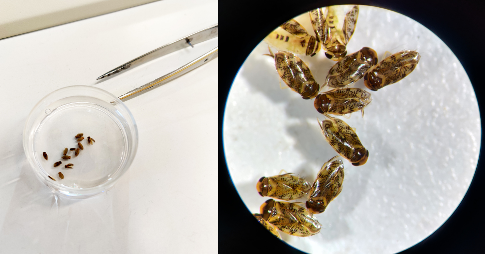 Left: Sample of Micronecta in petri dish, Right: Microscope view of sample