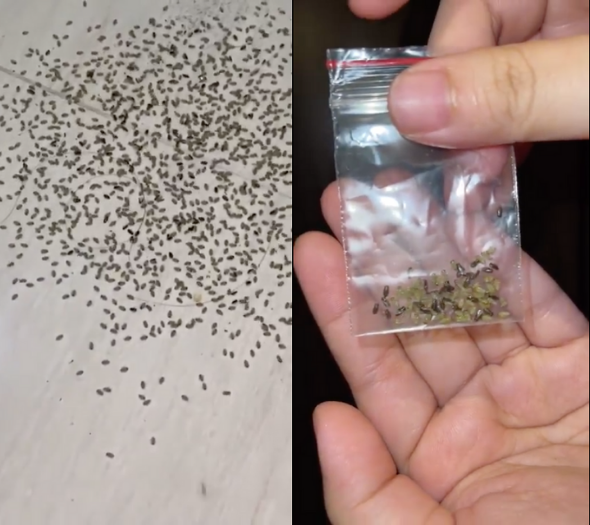 Left: Hundreds of insects on Oh's floor, Right: Samples in a ziplock bag