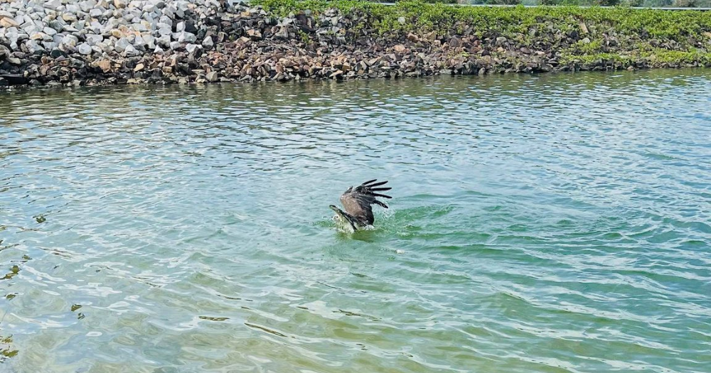 Eagle struggling in water